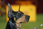 Beautiful Toy Manchester Terrier dog