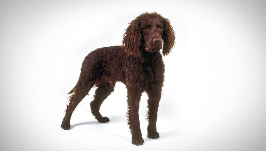 Beautiful Tweed Water Spaniel dog wallpaper