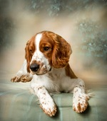 Beautiful Welsh Springer Spaniel dog