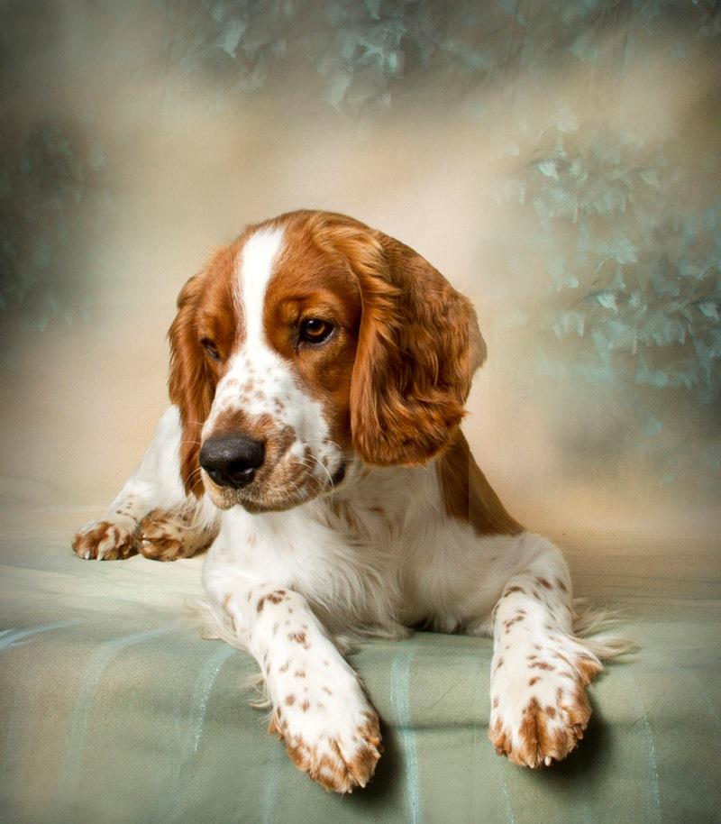 Beautiful Welsh Springer Spaniel dog wallpaper