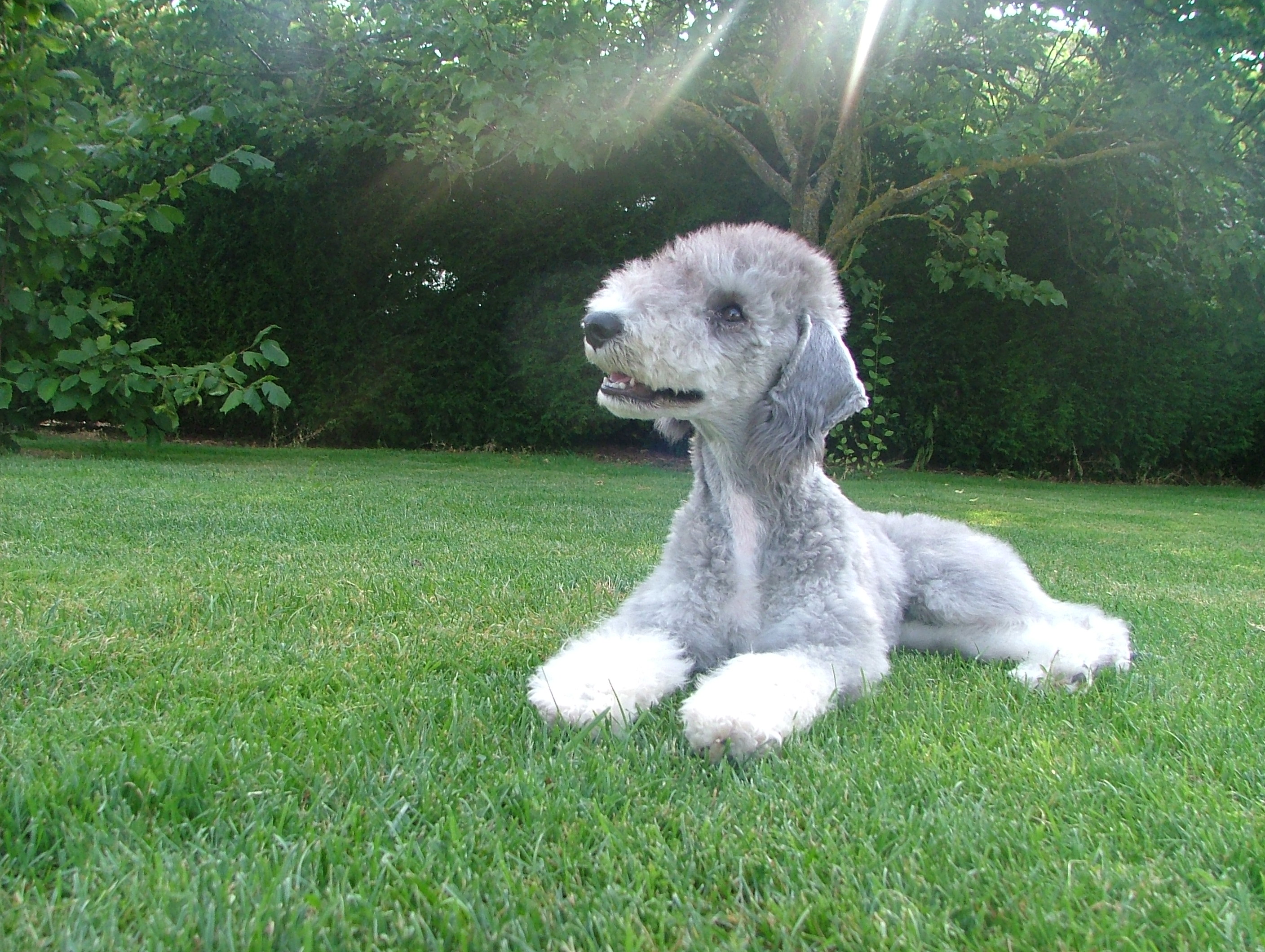 Bedlington Terrier Bandit wallpaper