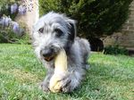Bedlington Terrier with a toy