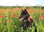 Belgian Shepherd Dog (Groenendael) and poppy