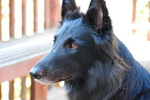Belgian Shepherd Dog (Groenendael) face