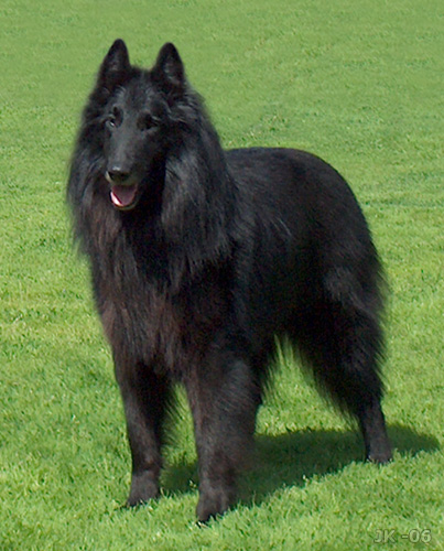Belgian Shepherd Dog (Groenendael) wallpaper