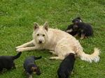 Бельгийская овчарка Лакенуа вместе с щенками