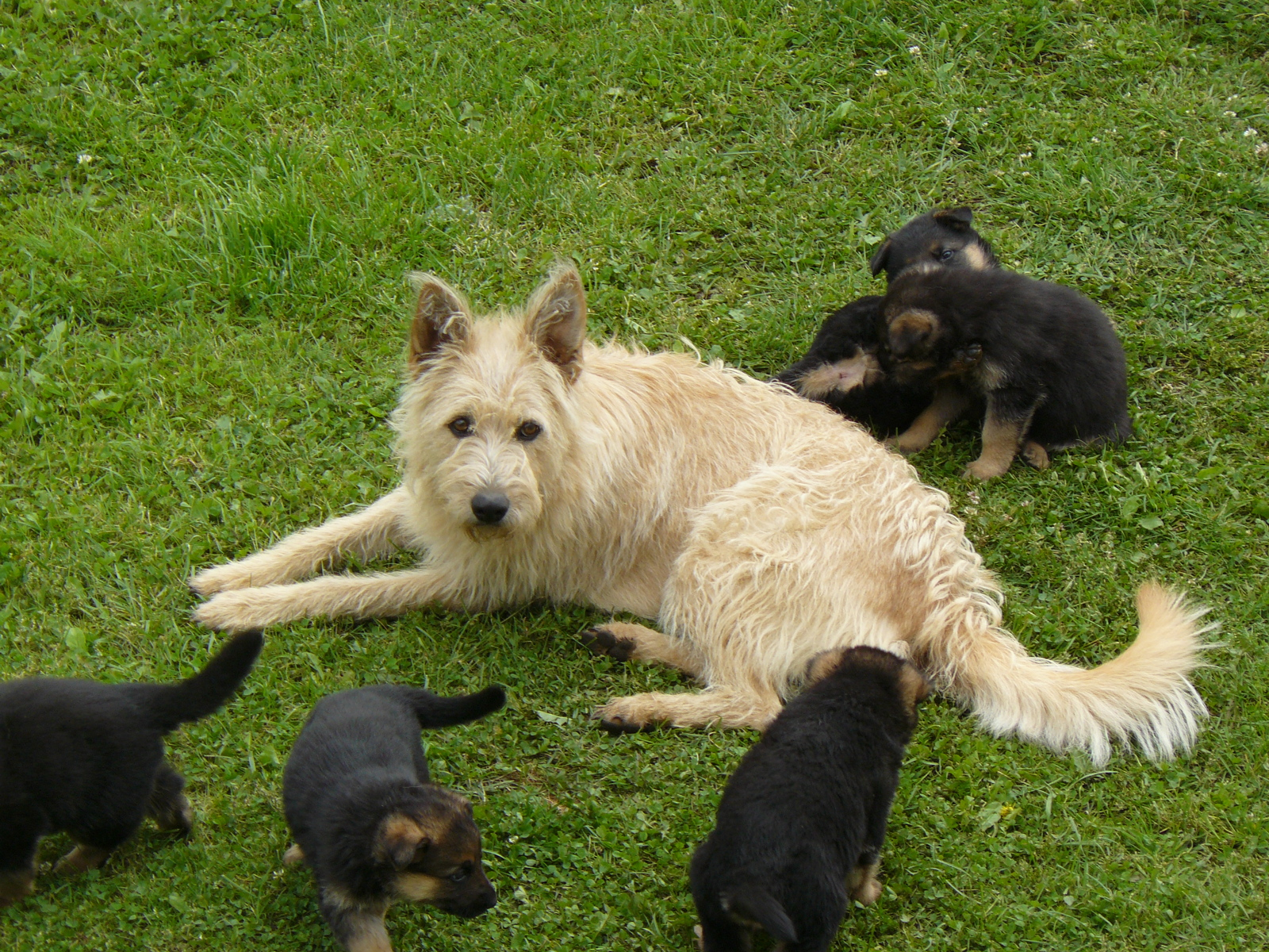 Belgian Shepherd Dog (Laekenois) with puppies wallpaper
