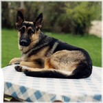 Belgian Shepherd Dog (Malinois) on the table