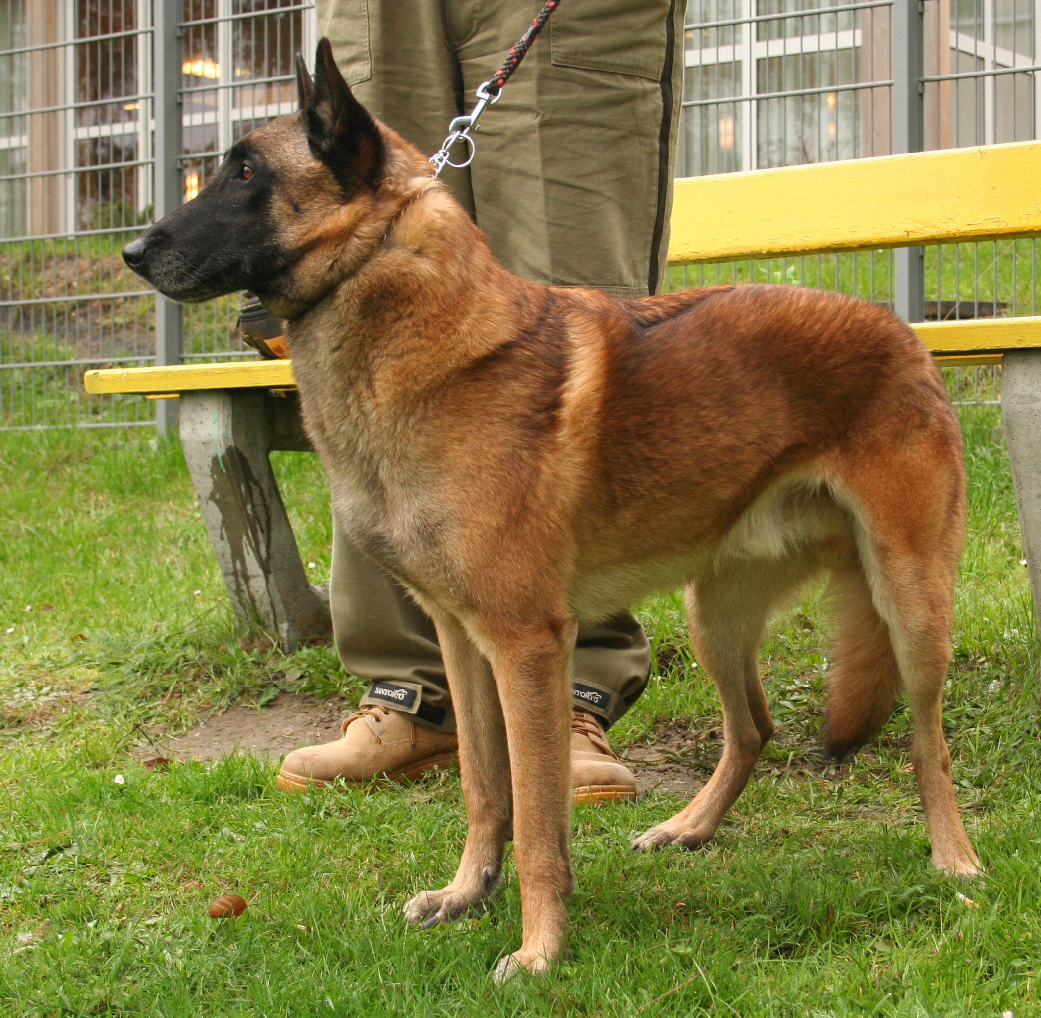 Belgian Shepherd Dog (Malinois) wallpapers