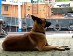 Belgian Shepherd Dog (Malinois) in the port