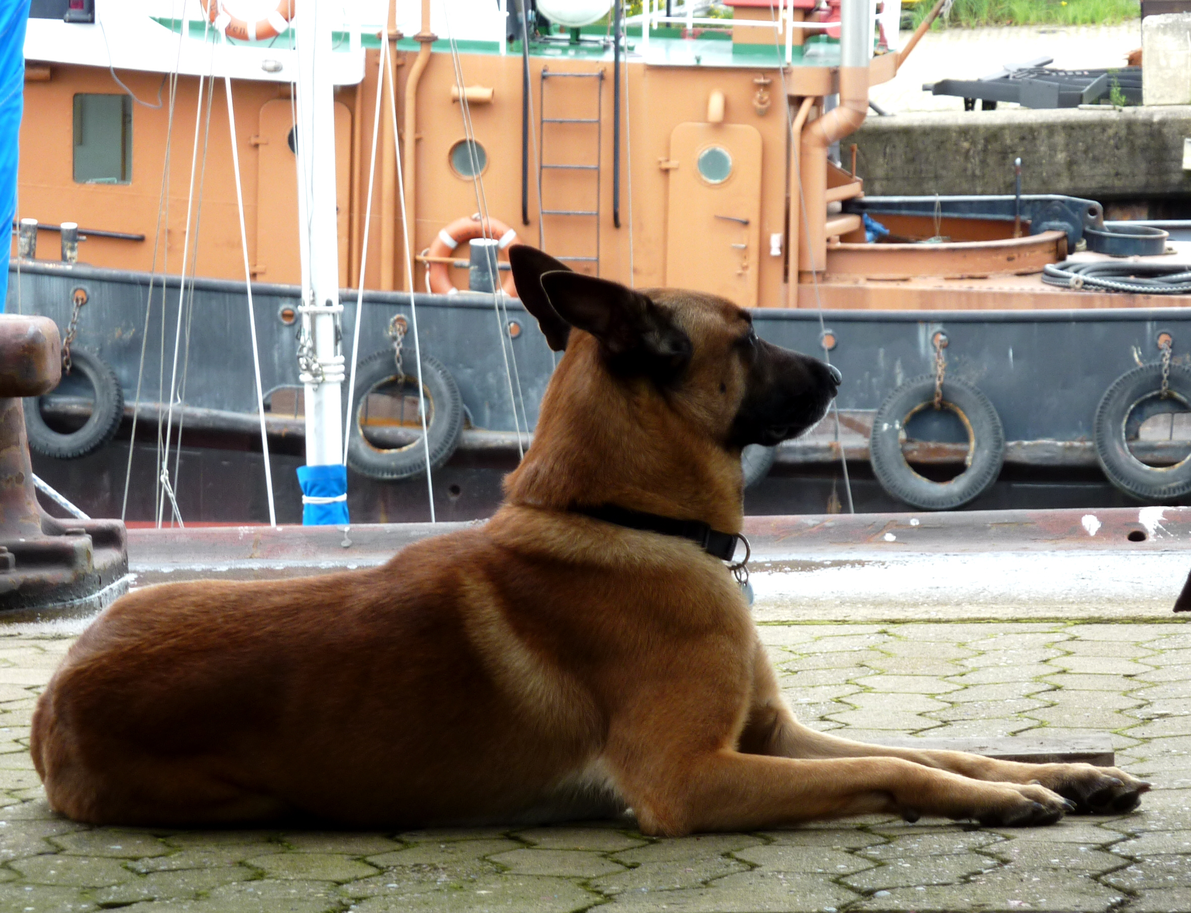 Belgian Shepherd Dog (Malinois) in the port wallpaper