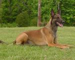 Belgian Shepherd Dog (Malinois) Rocky