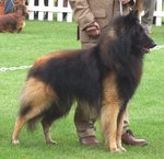 Belgian Shepherd (Tervuren) with his master