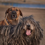 Bergamasco Shepherd with friend