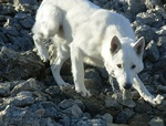 Berger Blanc Suisse on the rocks