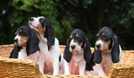 Berner Laufhund dogs basket