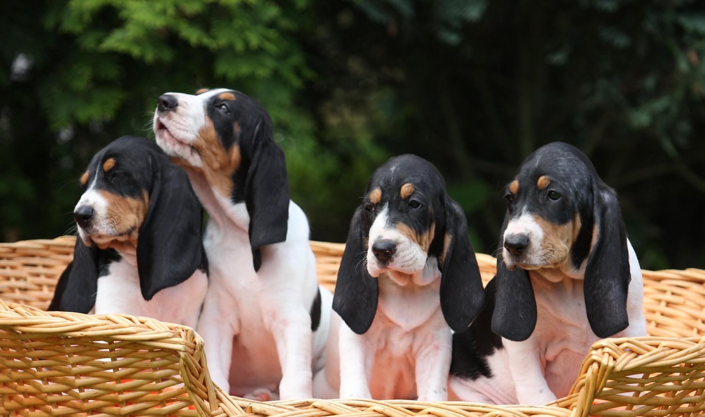 Berner Laufhund dogs basket wallpaper