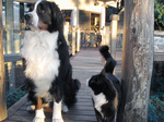 Bernese Mountain Dog and cat