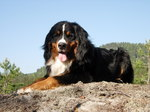 Bernese Mountain Dog on the hill