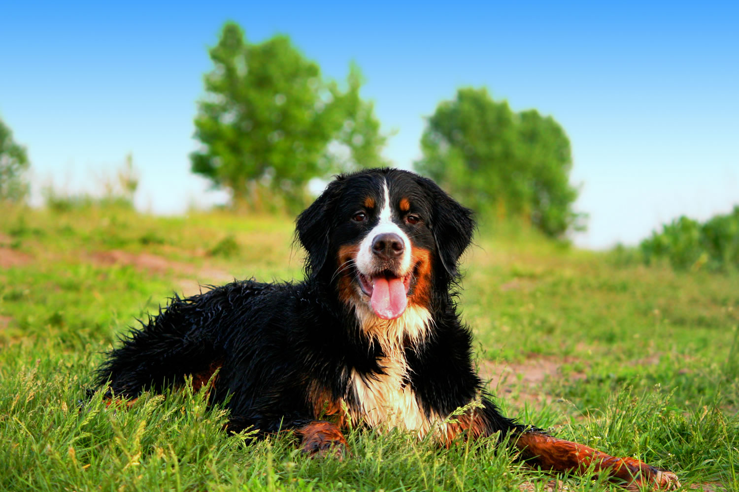 Best Bernese Mountain Dog Names