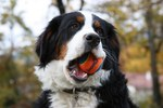 Bernese Mountain Dog with his toy