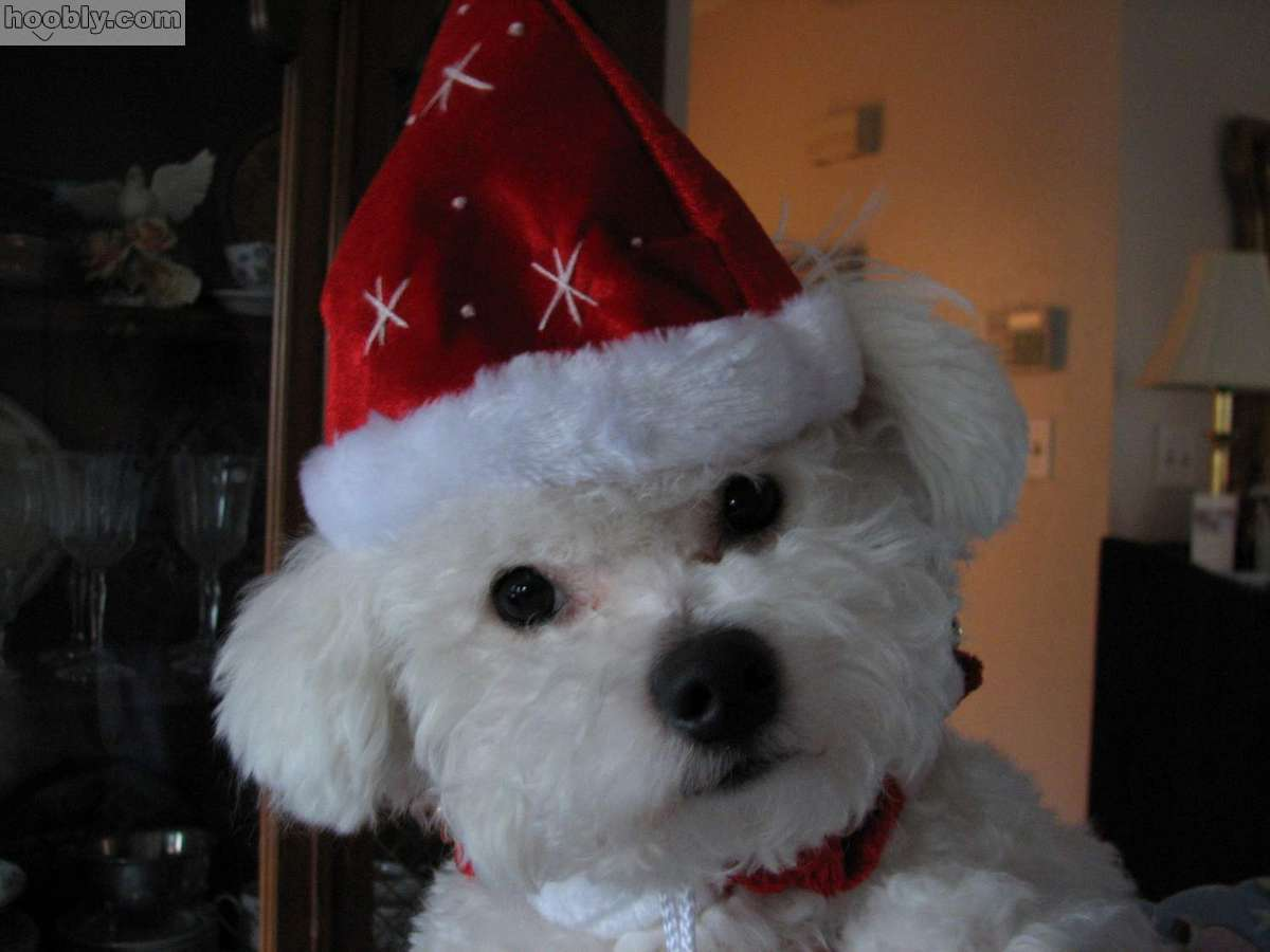 Bichon Frisé dog in the New Year hat wallpaper