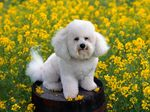 Bichon Frisé dog on the barrel