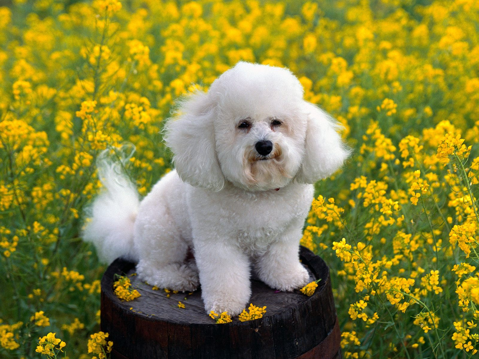 Bichon Frisé dog on the barrel wallpaper