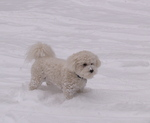 Bichon Frisé dog on the snow