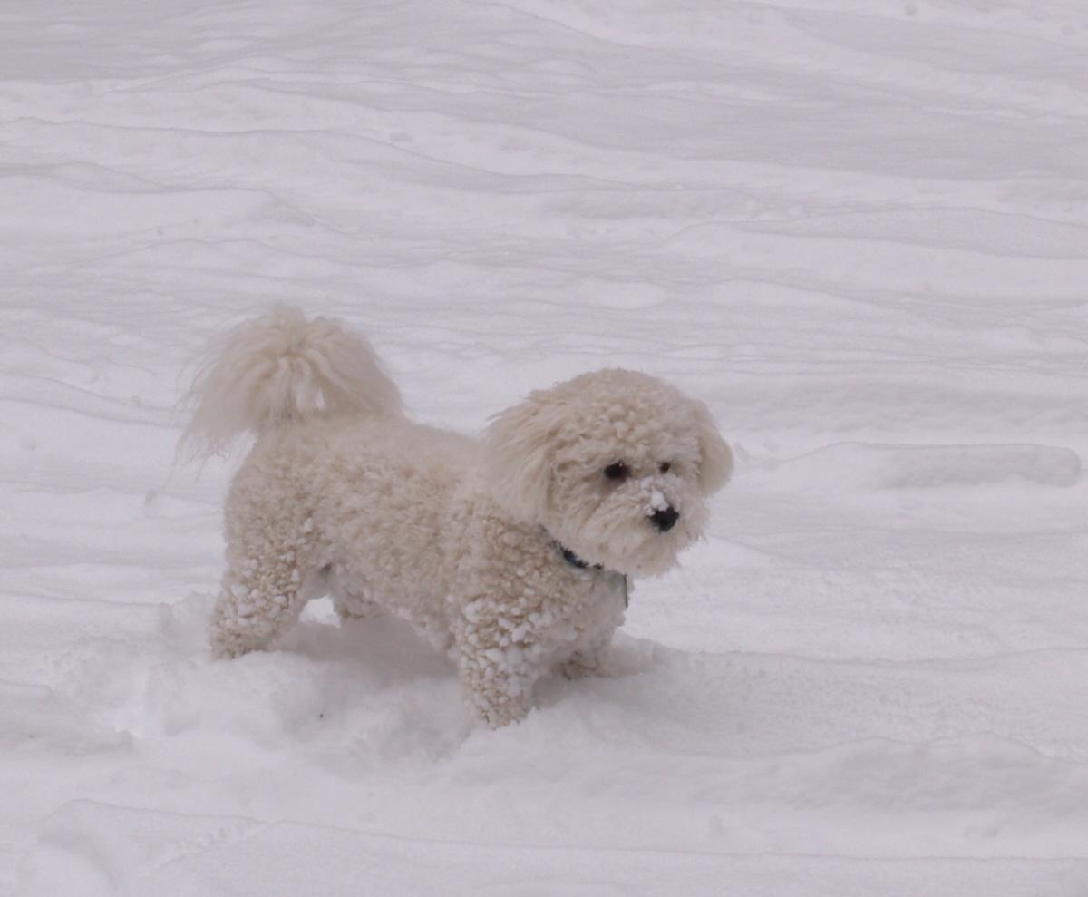 Собака бишон фризе на снегу фото