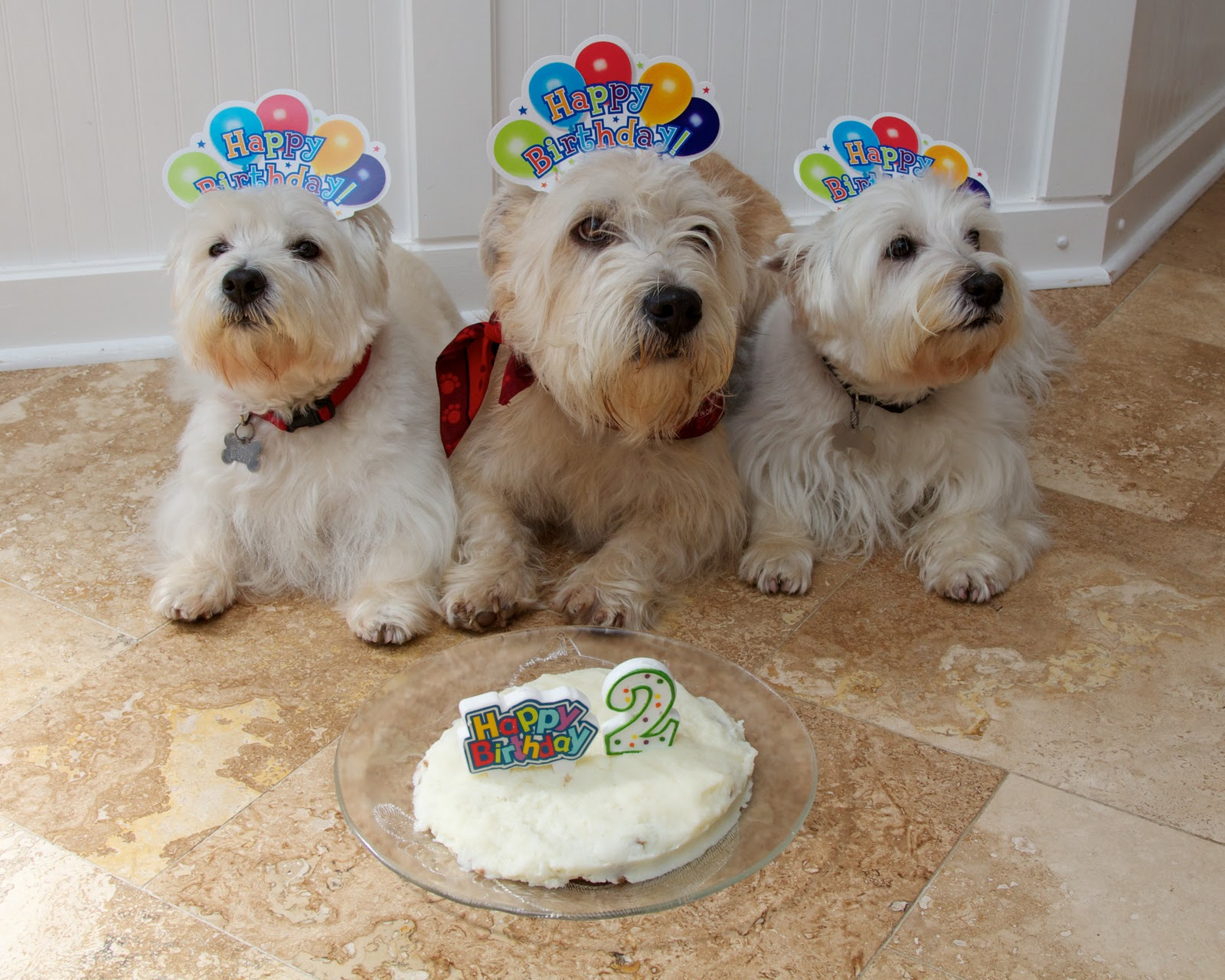 Birthday Glen of Imaal Terrier dogs wallpaper