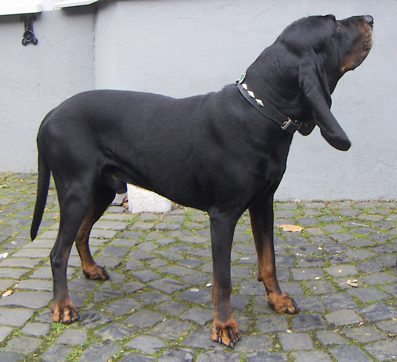 Black and Tan Coonhound wallpaper