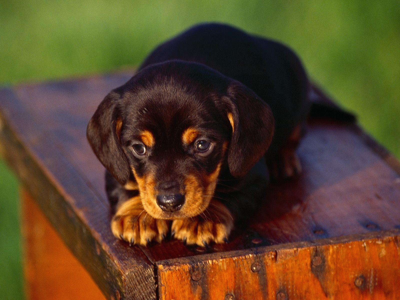 Gorgeus Black and Tan Coonhound dog hunting