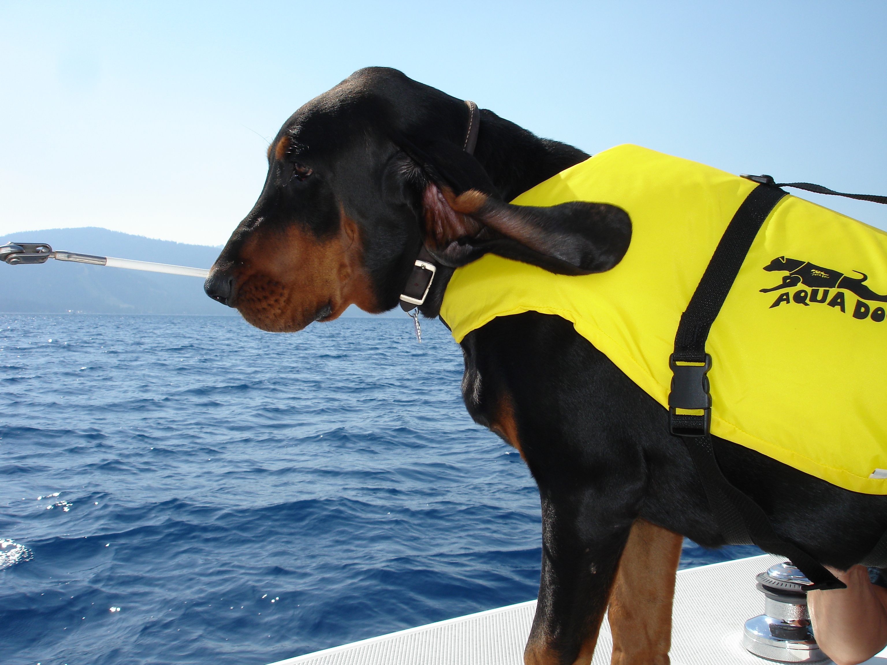 Black and Tan Coonhound rescuer wallpaper