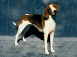 Black and Tan Virginia Foxhound drawing