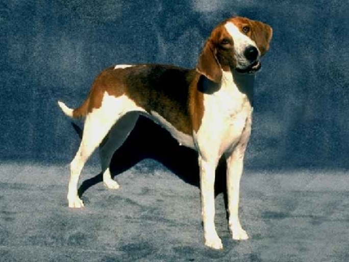Black and Tan Virginia Foxhound drawing wallpaper
