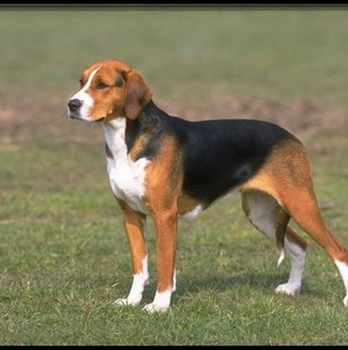 Black and Tan Virginia Foxhound wallpaper