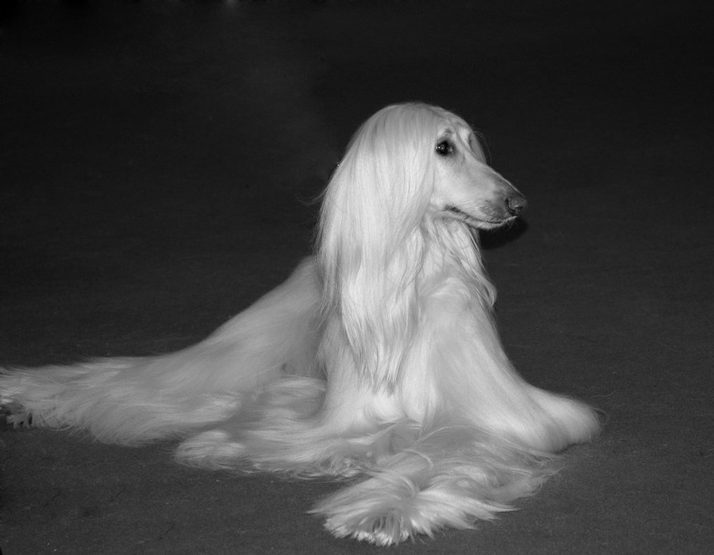 Black and white Afghan Hound wallpaper