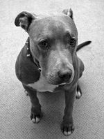 Black and white American Pitbull Terrier