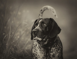 Black and white Bluetick Coonhound dog