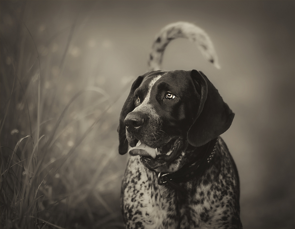 Black and white Bluetick Coonhound dog wallpaper