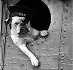Black and white Veterans Day Bulldog