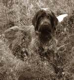 Black and white Wirehaired Pointing Griffon dog