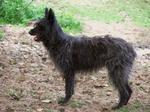 Black Bouvier des Ardennes dog
