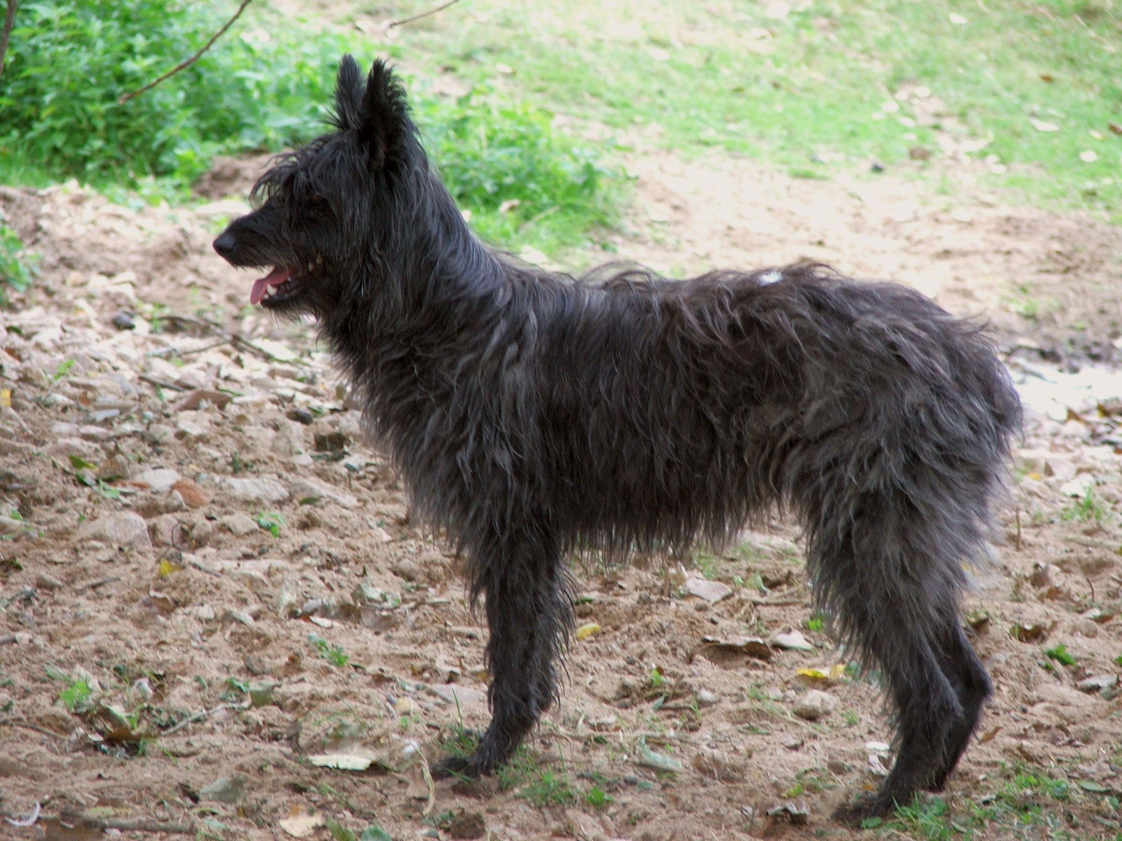 Black Bouvier des Ardennes dog wallpaper