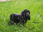 Черный английский кокер-спаниель в траве