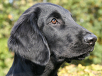 Black Flat-Coated Retriever dog