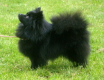 Black German Spitz dog