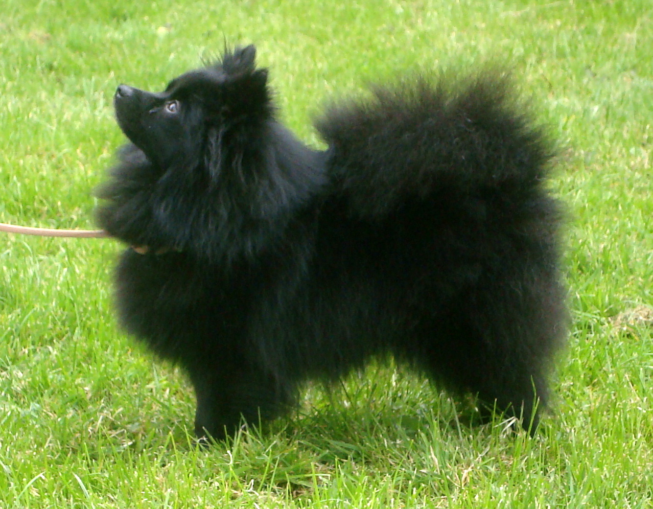 Black German Spitz dog wallpaper