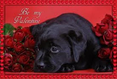 Black Labrador Valentine's Day фото